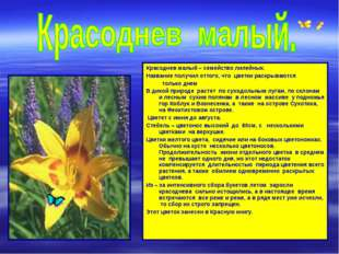 Красоднев малый – семейство лилейных. Название получил оттого, что цветки рас