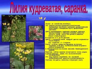 Лилии- из семейства лилейных. Это широко распространенные многолетние лукови