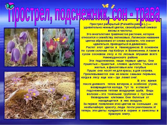Прострел раскрытый (Pulsatilla patens L.) — удивительно нежный цветок, своео...