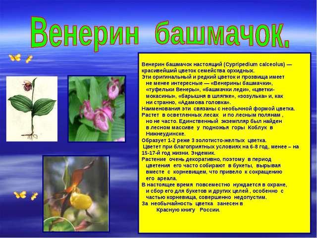 Венерин башмачок настоящий (Cypripedium calceolus) — красивейший цветок семе...