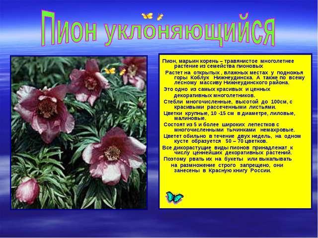 Пион, марьин корень – травянистое многолетнее растение из семейства пионовых...