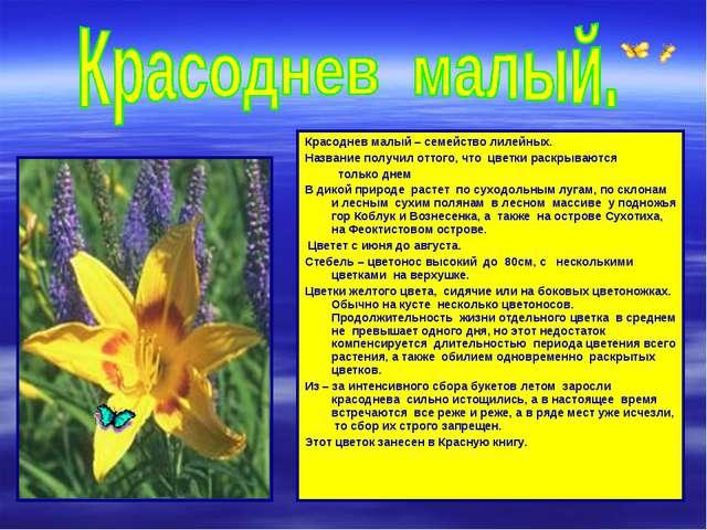 Красоднев малый – семейство лилейных. Название получил оттого, что цветки рас...