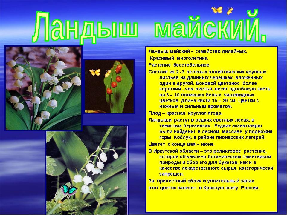 Ландыш майский – семейство лилейных. Красивый многолетник. Растение бесстебел...