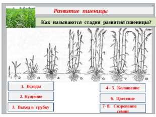 Как называются стадии развития пшеницы? Развитие пшеницы 1. всх.ды 2. к.щени