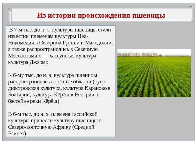 Из истории происхождения пшеницы В 7-м тыс. до н. э. культуры пшеницы стали...