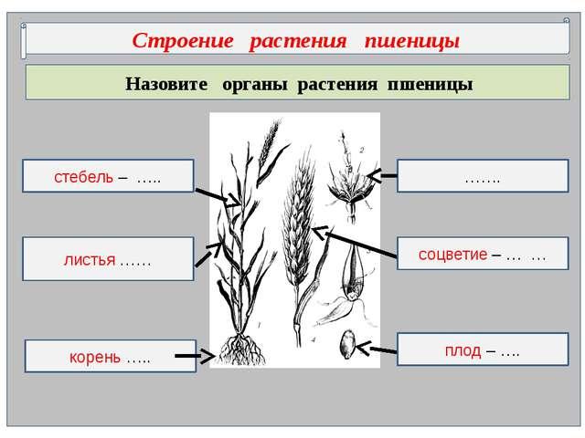 Назовите органы растения пшеницы Строение растения пшеницы ……. корень ….. ст...