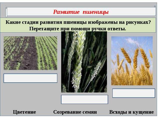 Какие стадии развития пшеницы изображены на рисунках? Перетащите при помощи...