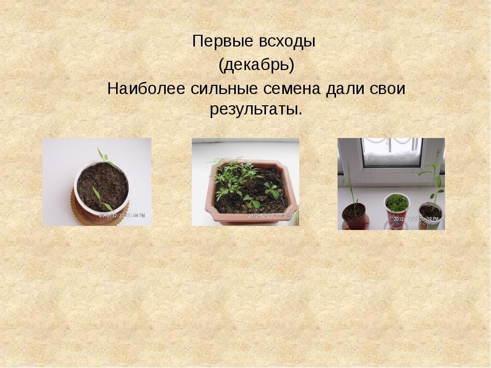 Первые всходы (декабрь) Наиболее сильные семена дали свои результаты.