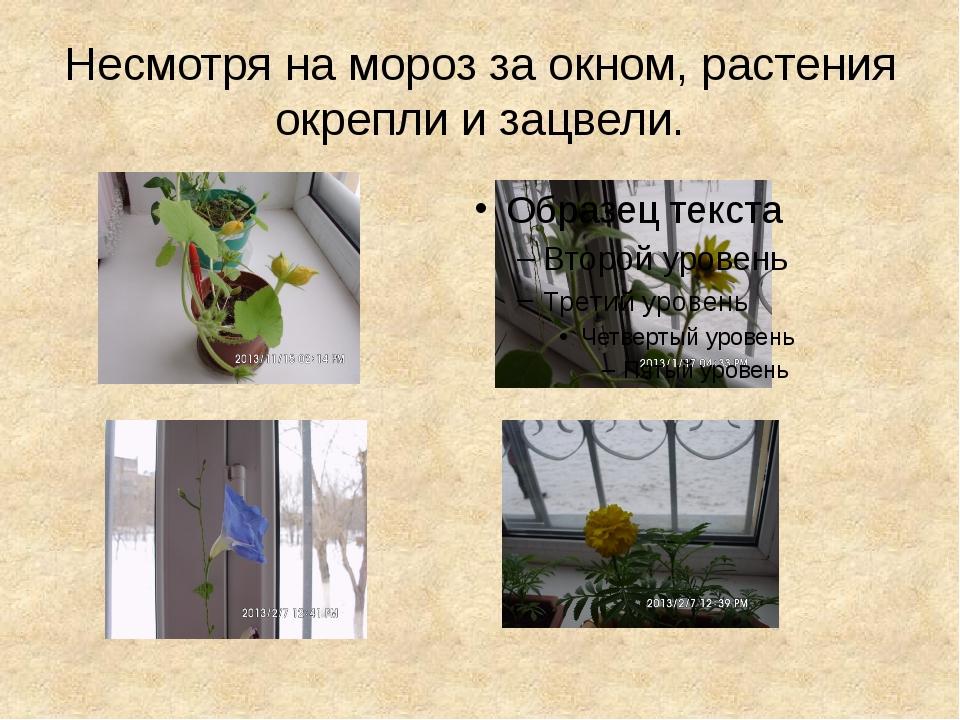 Несмотря на мороз за окном, растения окрепли и зацвели.