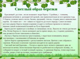 Красавицей русских лесов называют люди березу. Стройная, с тонкими, длинными