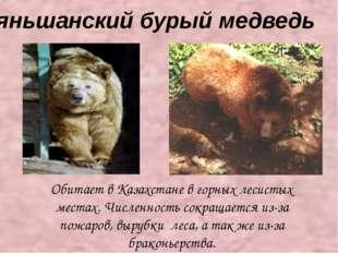 Тяньшанский бурый медведь Обитает в Казахстане в горных лесистых местах. Чис