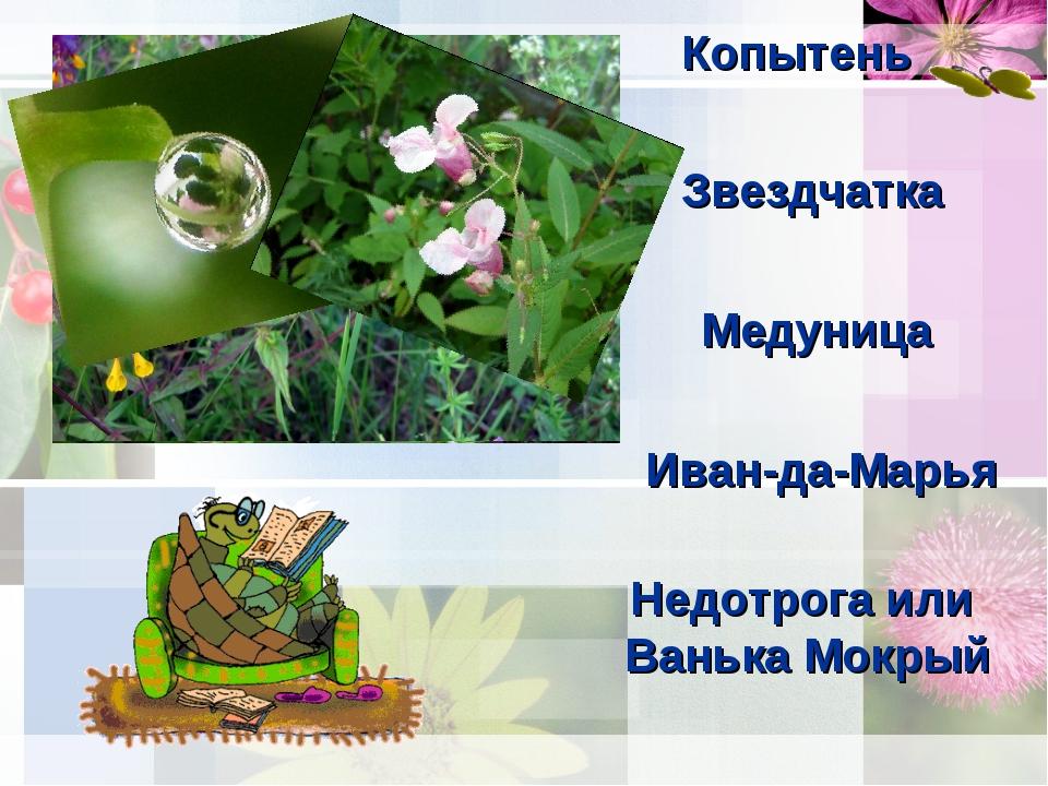 Копытень Звездчатка Медуница Иван-да-Марья Недотрога или Ванька Мокрый