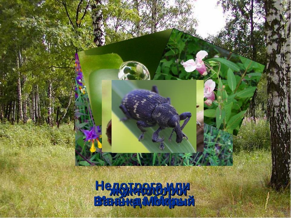 Иван-да-Марья Недотрога или Ванька Мокрый жук-носорог жук-слоник