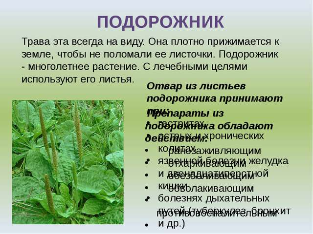 Отвар из листьев подорожника принимают при: гастритах острых и хронических ко...
