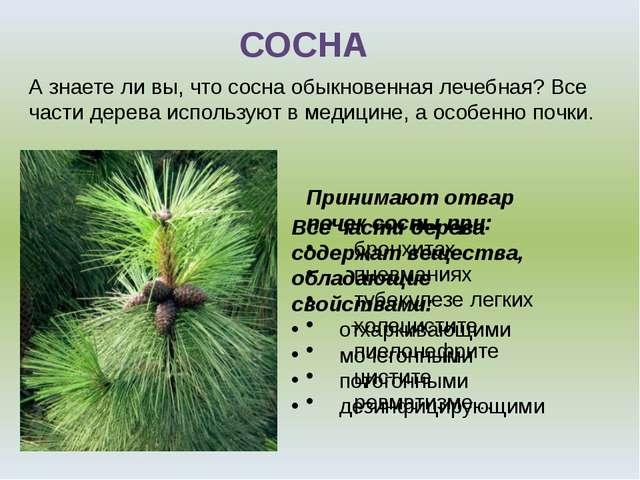 СОСНА А знаете ли вы, что сосна обыкновенная лечебная? Все части дерева испол...