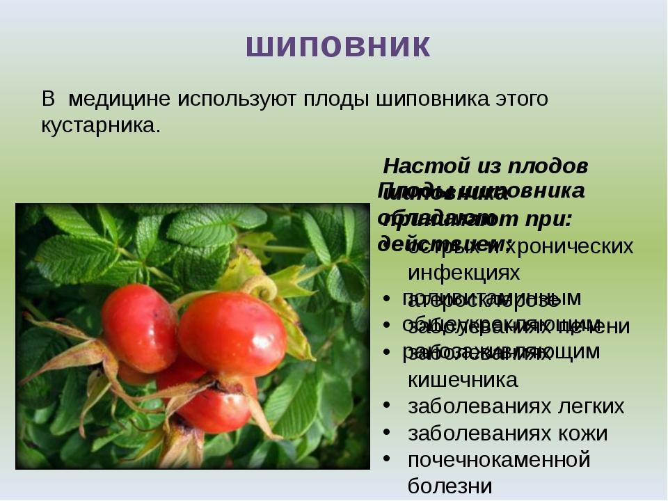 Настой из плодов шиповника принимают при: острых и хронических инфекциях атер...