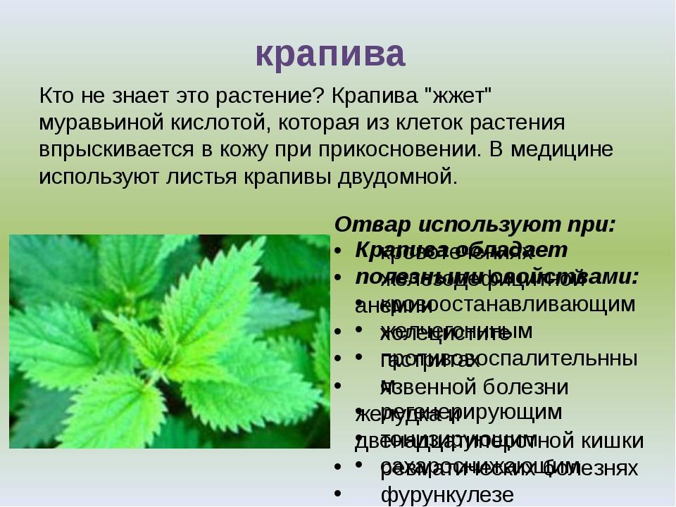 Крапива обладает полезными свойствами: кровоостанавливающим желчегоннным про...