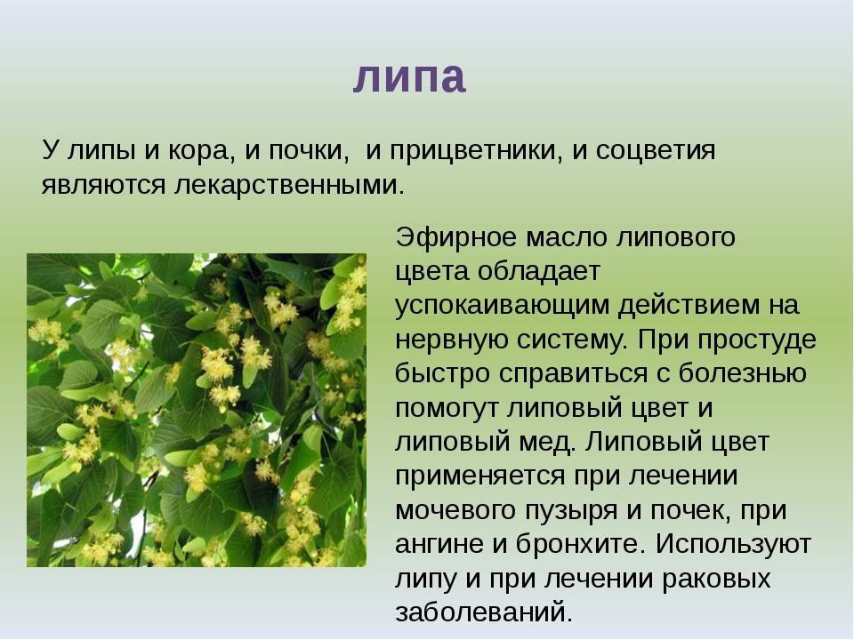 У липы и кора, и почки, и прицветники, и соцветия являются лекарственными. л...