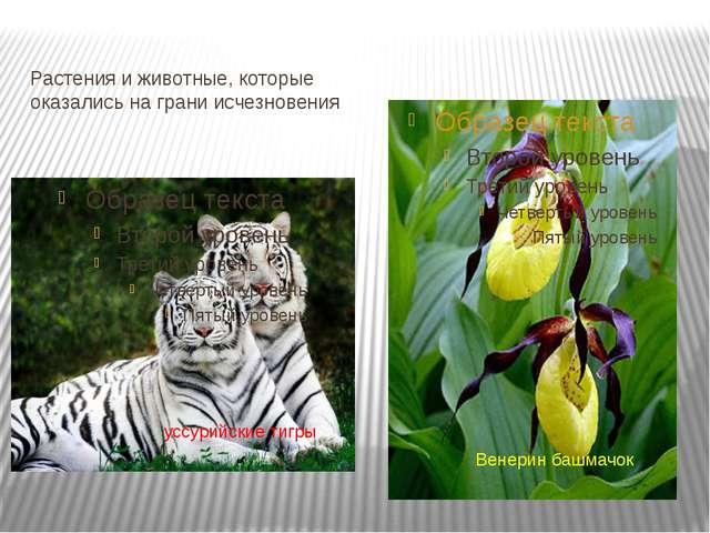 Растения и животные, которые оказались на грани исчезновения Венерин башмачок...