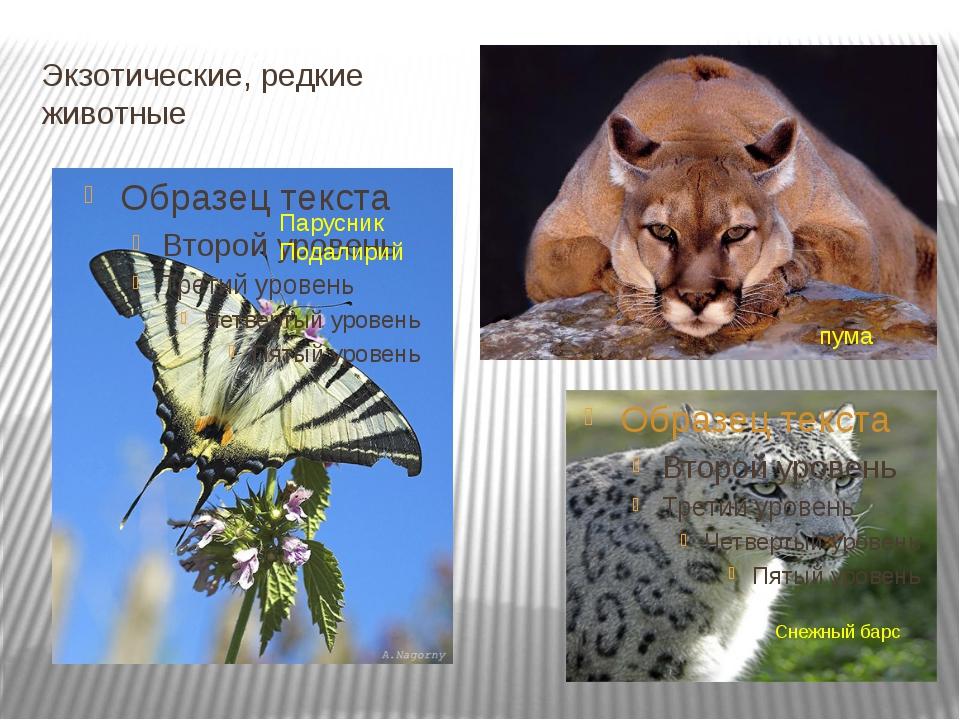 Экзотические, редкие животные Снежный барс Парусник Подалирий пума