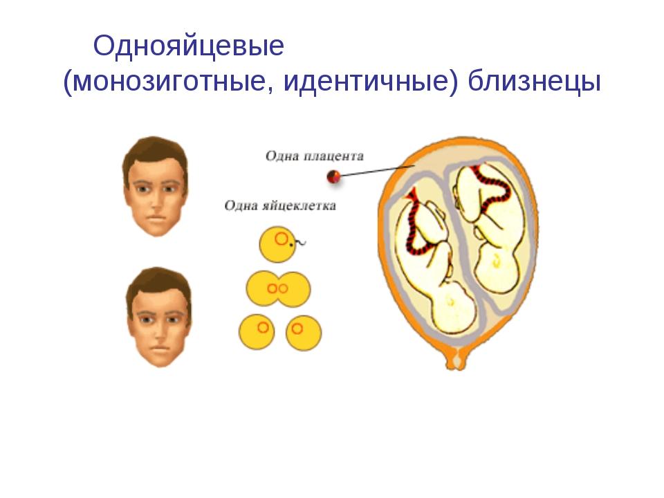 Однояйцевые (монозиготные, идентичные) близнецы