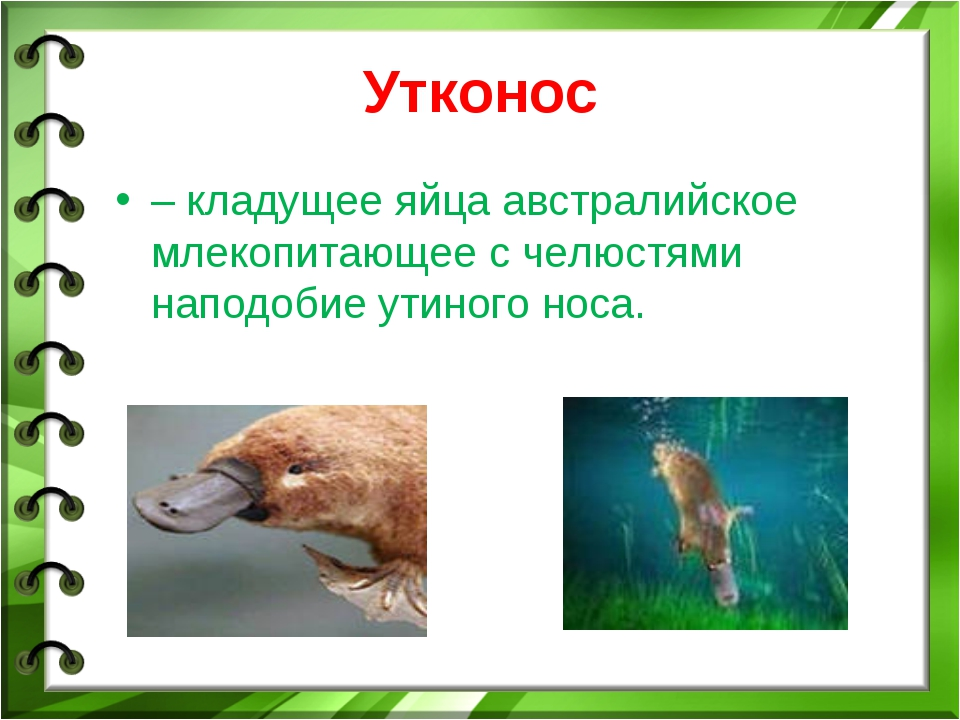 Утконос – кладущее яйца австралийское млекопитающее с челюстями наподобие ути...