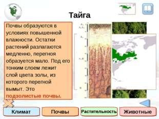 Тайга Климат Почвы Растительность Животные Тайга – это зона умеренного пояса