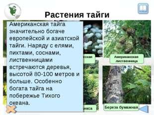 Растения тайги Черная ель Белая ель Сосна Банкса Американская лиственница Бал