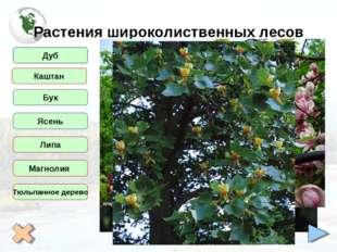 Растения широколиственных лесов Дуб Бук Ясень Липа Магнолия Тюльпанное дерево
