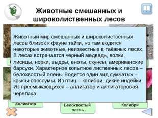 Животные смешанных и широколиственных лесов Енот-полоскун Белохвостый олень А