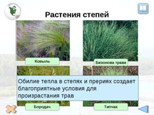 Растения степей Ковыль Бизонова трава Бородач Типчак Обилие тепла в степях и