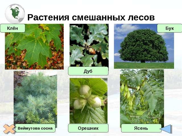 Растения смешанных лесов Дуб Орешник Бук Ясень Клён Веймутова сосна