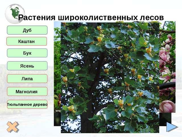 Растения широколиственных лесов Дуб Бук Ясень Липа Магнолия Тюльпанное дерево...