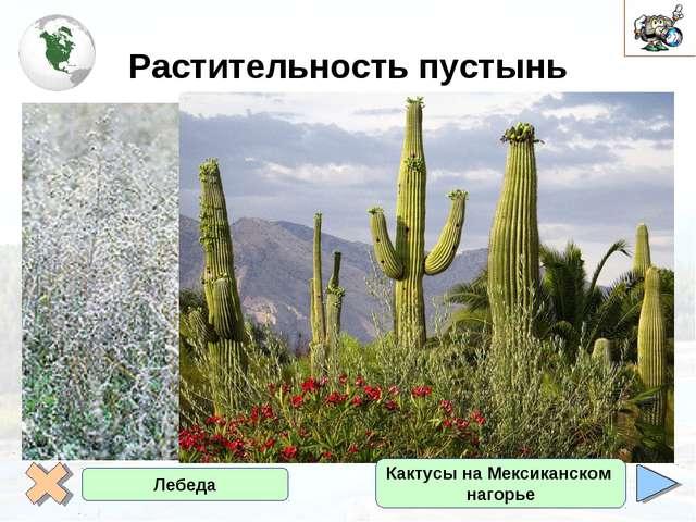 Растительность пустынь Полынь черная Лебеда Кактусы на Мексиканском нагорье
