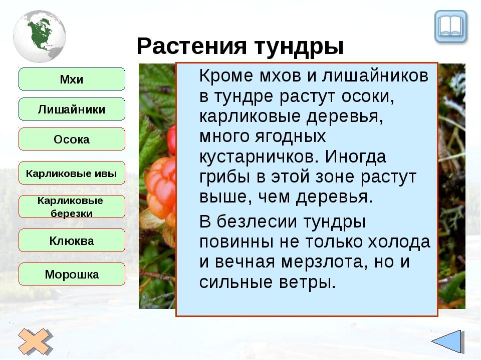 Растения тундры Мхи Лишайники Осока Карликовые ивы Карликовые березки Клюква...