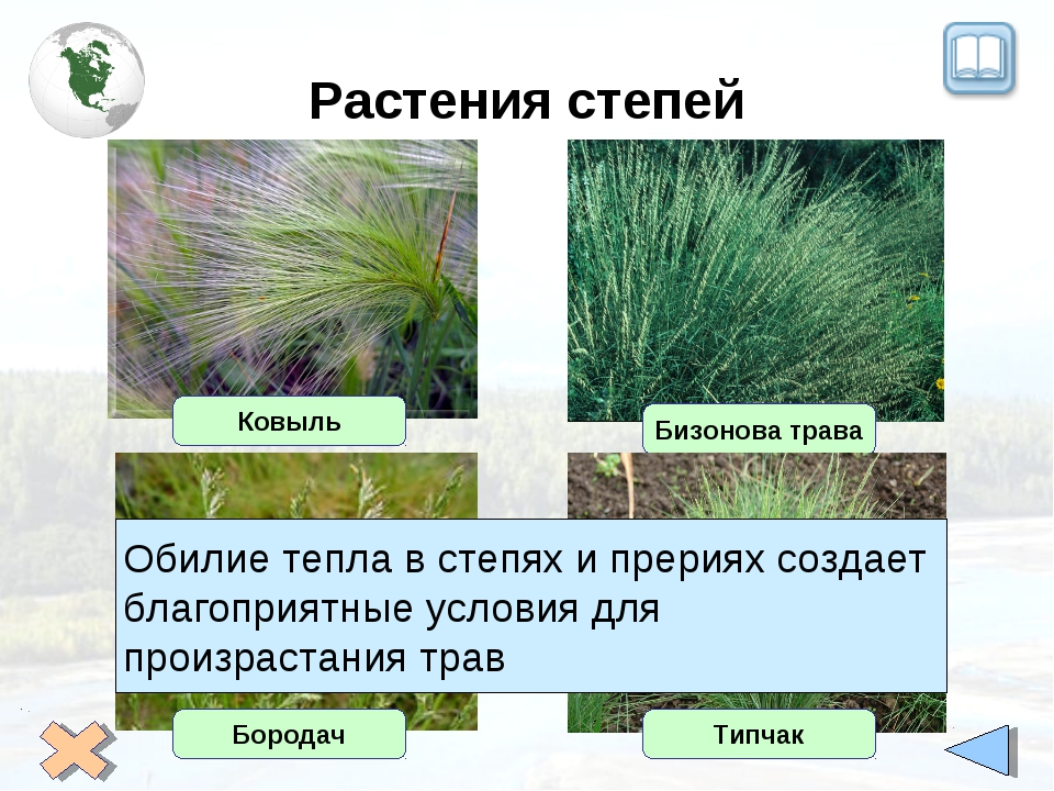 Растения степей Ковыль Бизонова трава Бородач Типчак Обилие тепла в степях и...