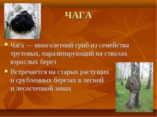 ЧАГА Чага— многолетний гриб изсемейства трутовых, паразитирующий настволах