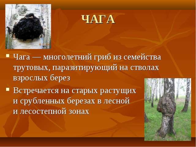 ЧАГА Чага— многолетний гриб изсемейства трутовых, паразитирующий настволах...
