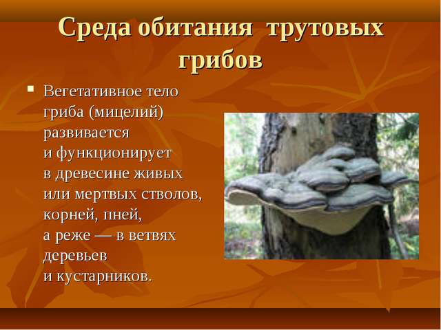 Среда обитания трутовых грибов Вегетативное тело гриба (мицелий) развивается...