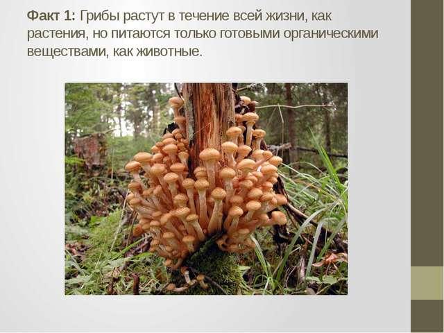 Факт 1: Грибы растут в течение всей жизни, как растения, но питаются только г...