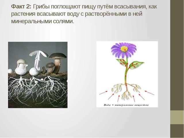 Факт 2: Грибы поглощают пищу путём всасывания, как растения всасывают воду с...