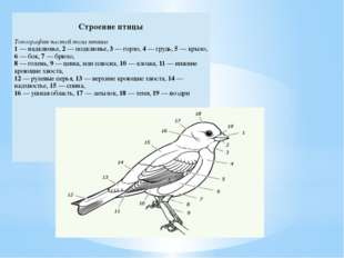 Строение птицы Топография частей тела птицы 1— надклювье,2—подклювье,3— горл