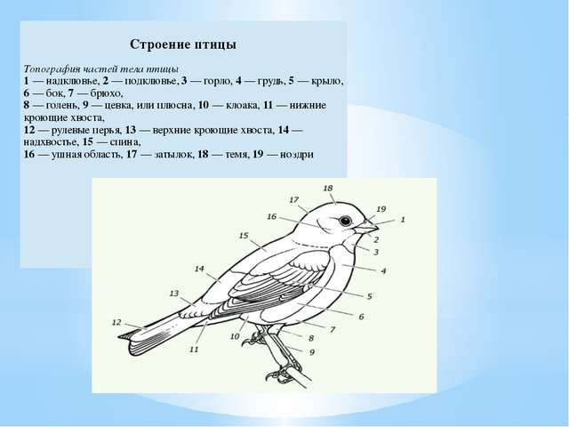 Строение птицы Топография частей тела птицы 1— надклювье,2—подклювье,3— горл...