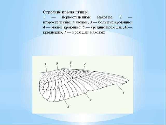 Строение крыла птицы 1 — первостепенные маховые, 2 — второстепенные маховые,...