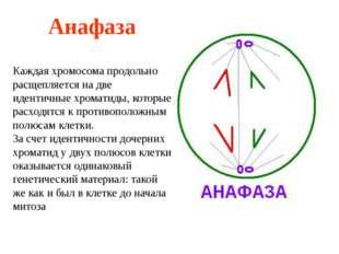 Анафаза Каждая хромосома продольно расщепляется на две идентичные хроматиды,