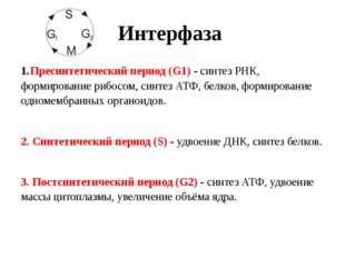 Интерфаза Пресинтетический период (G1) - синтез РНК, формирование рибосом, си