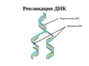 Репликация ДНК Родительская ДНК Дочерняя ДНК