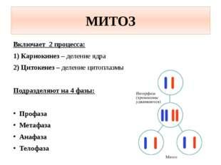 МИТОЗ Включает 2 процесса: 1) Кариокинез – деление ядра 2) Цитокенез – делени