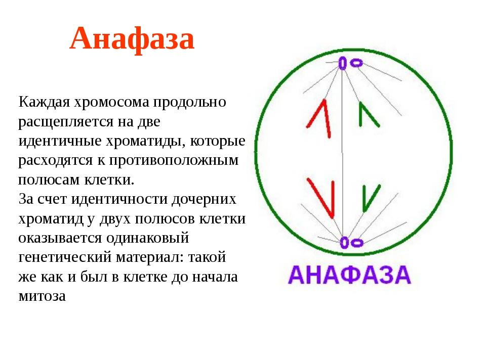 Анафаза Каждая хромосома продольно расщепляется на две идентичные хроматиды,...