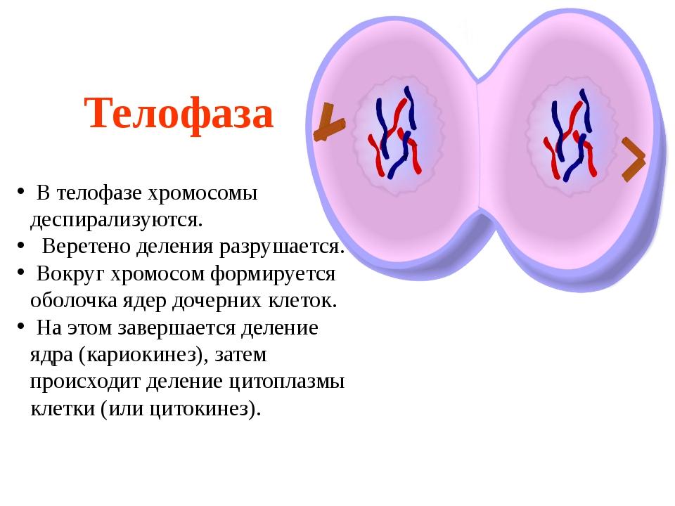Телофаза В телофазе хромосомы деспирализуются. Веретено деления разрушается....